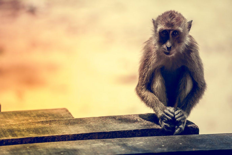 Portrait of the sad monkey.